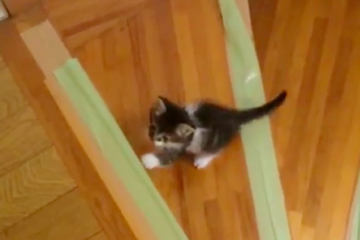 Rescue Kitten Wants to Learn to Climb Stairs, So His Human Helps