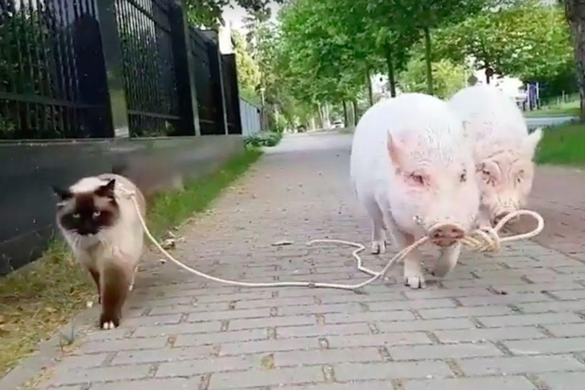 Ragdoll Cat Lets One Guy Walk Him, and Him Alone