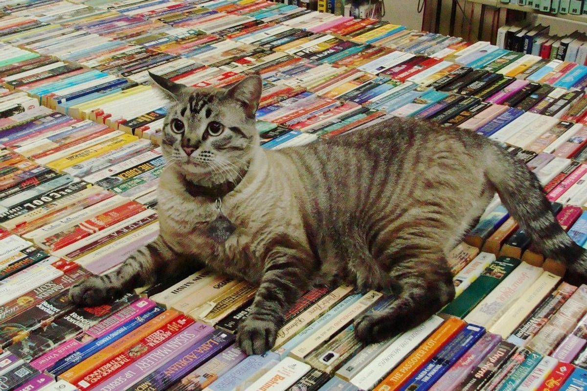 Browser the Library Cat Gets to Stay at the Place He Calls Home