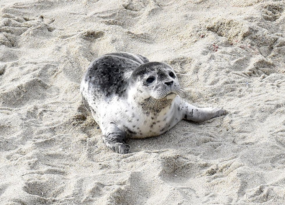 Baby Seal Euthanized After Woman Stuffs Him in Her Shopping Bag