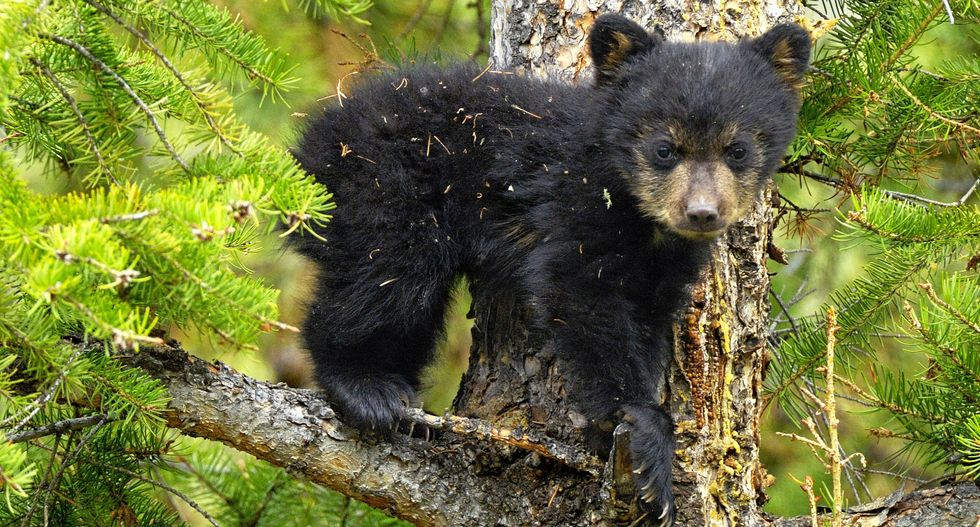 Interactive Map Shows Which States Kill the Most Black Bears, Mountain Lions, Wolves and Bobcats