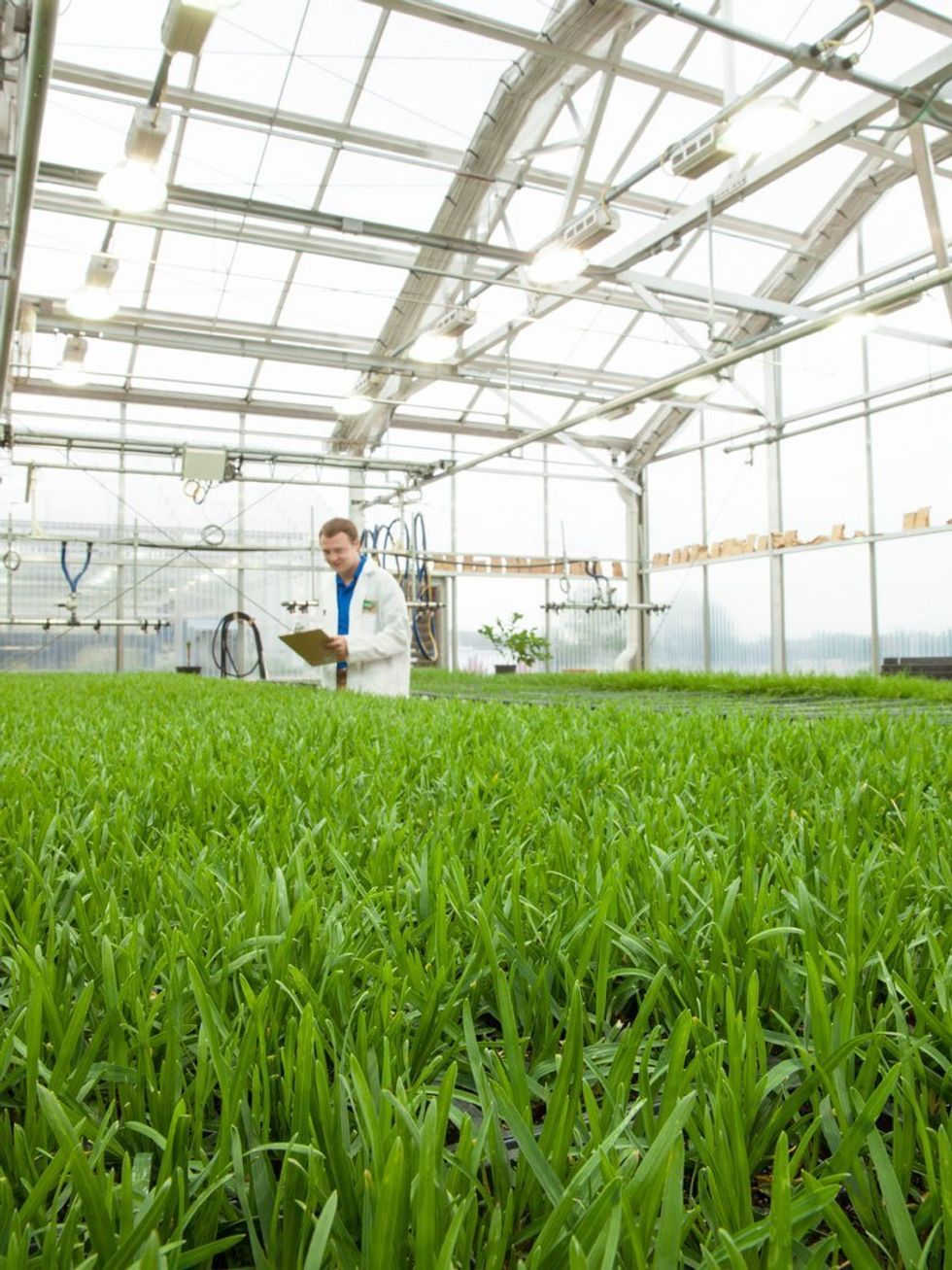 Roundup Ready GMO Grass Coming to a Lawn Near You?