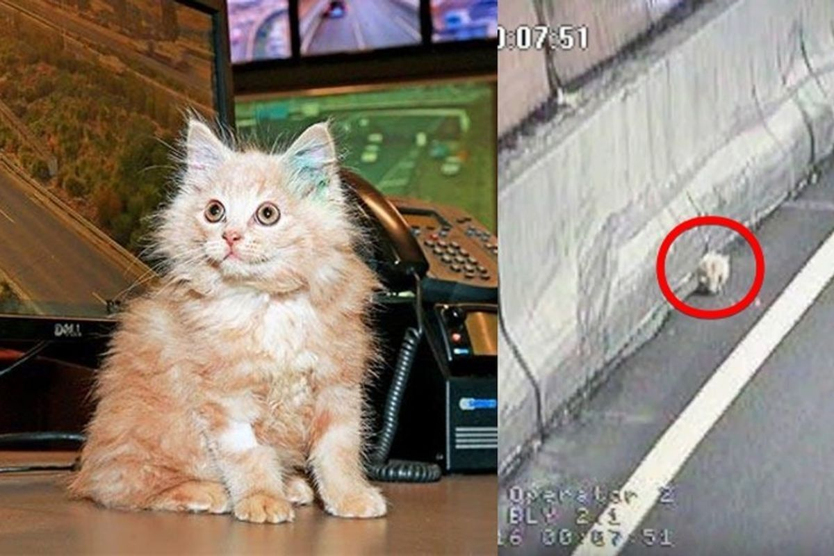 Stray Kitten Saved from Tunnel Returns the Favor by Helping His Rescuers Monitor Traffic