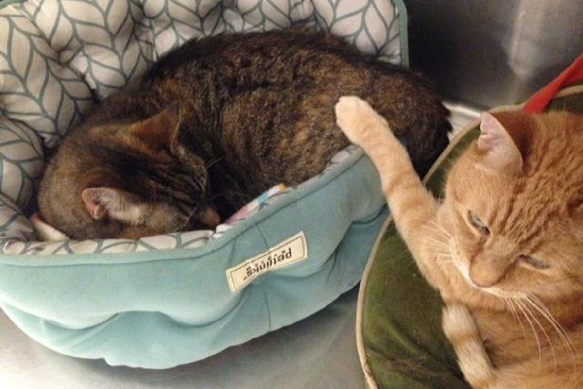 Senior Cat Tries to Comfort His Shy 16-year-old Sister at Shelter