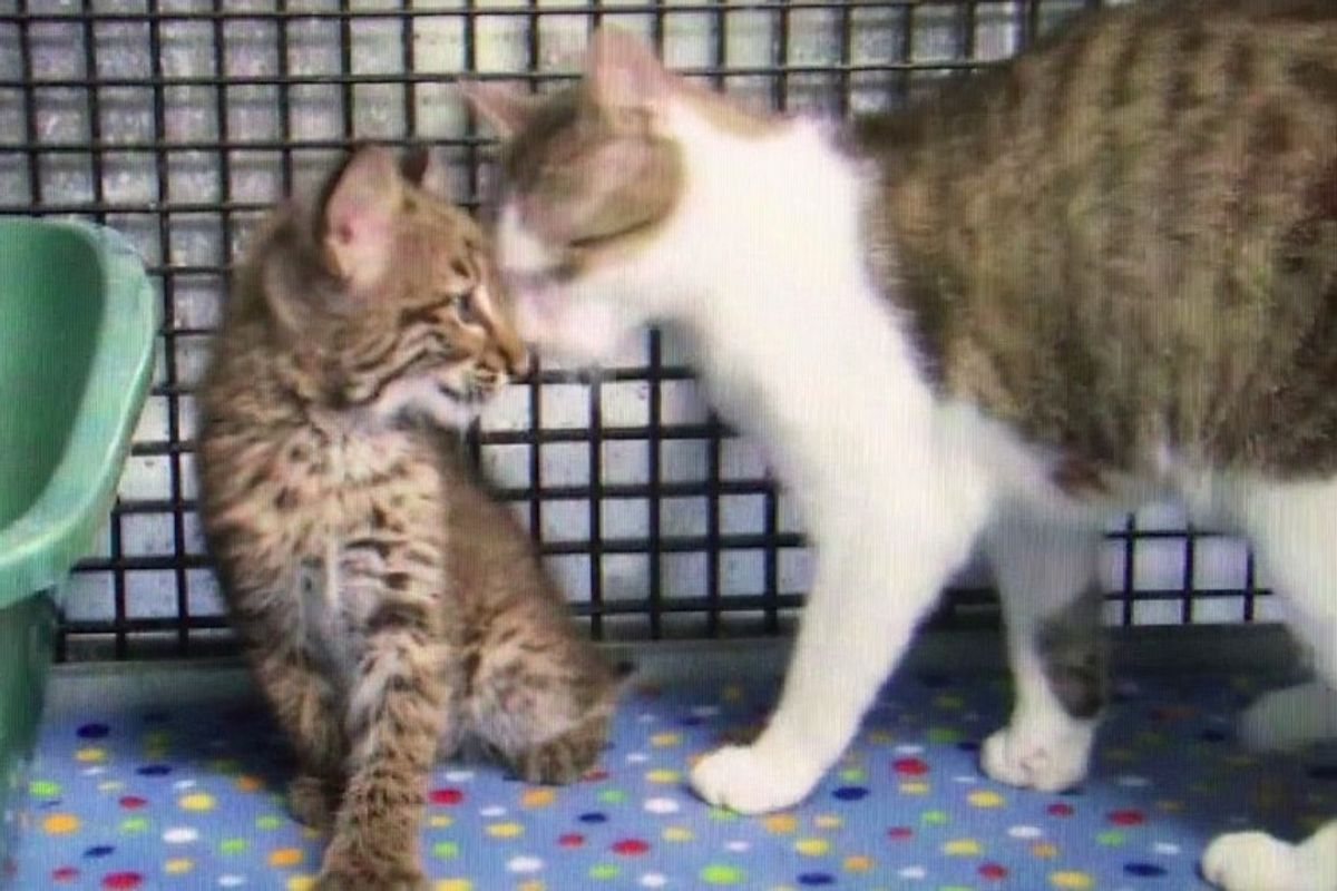 Stray Cat Saves Baby Bobcat who Lost His Own Mother