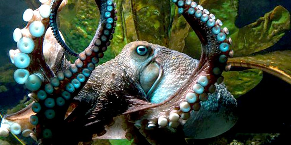Octopus Slips Out of Aquarium, Escapes Down Pipe to Ocean