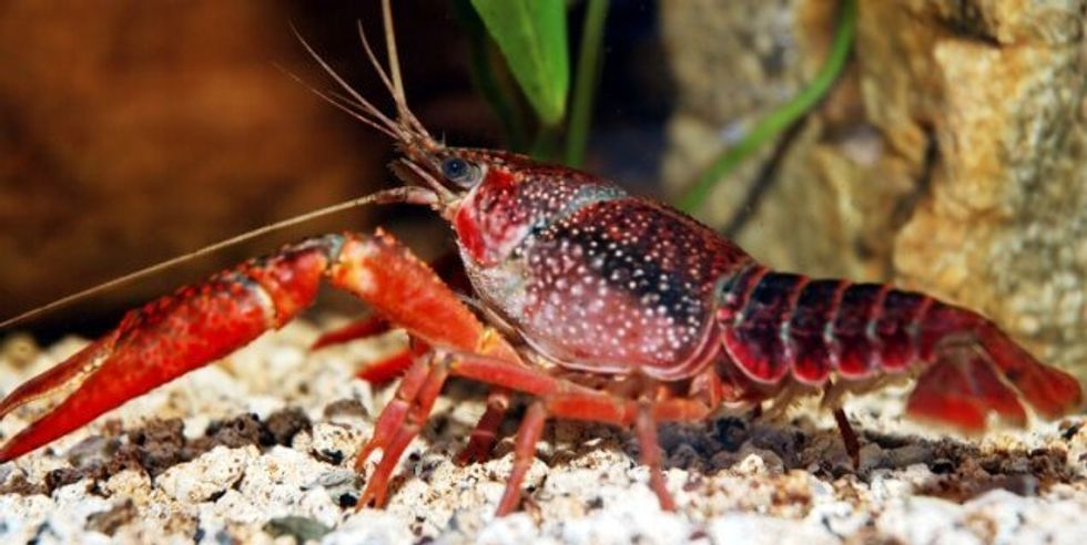 Will Aquarium Release 110-Year-Old Lobster Back to Sea?