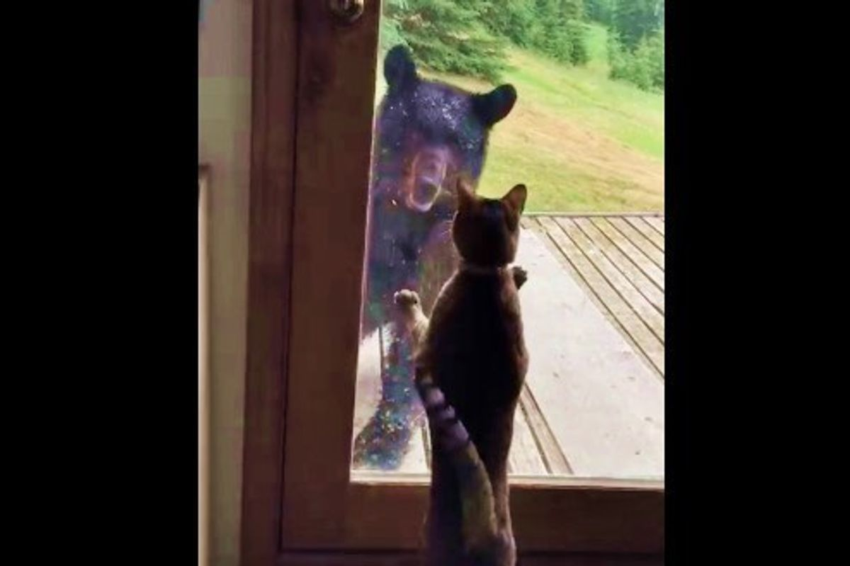 Brave Cat Guards Her Home from a Black Bear