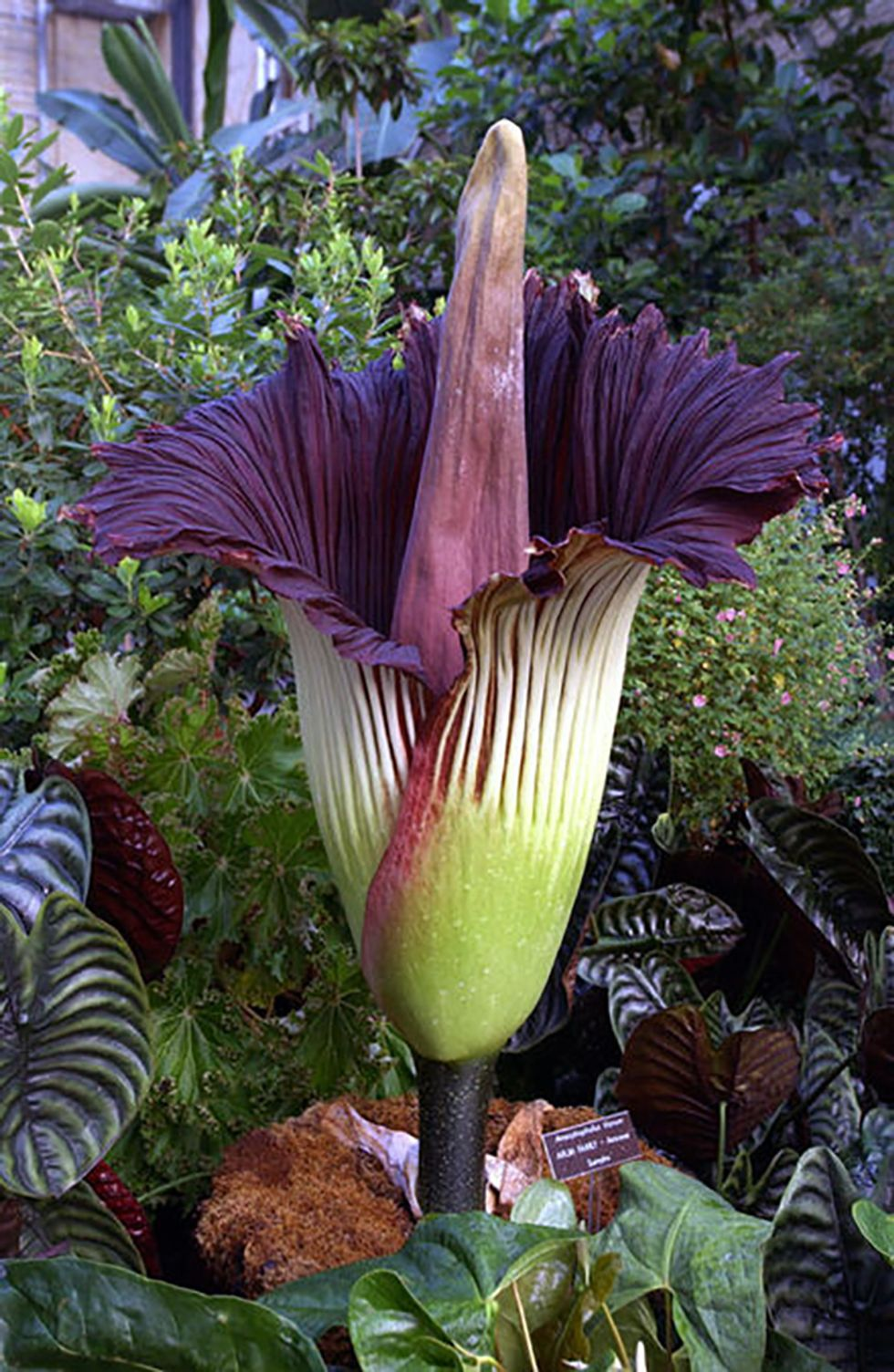 Thousands Watch as Giant Flower That Smells Like Death Blooms for First Time in a Decade