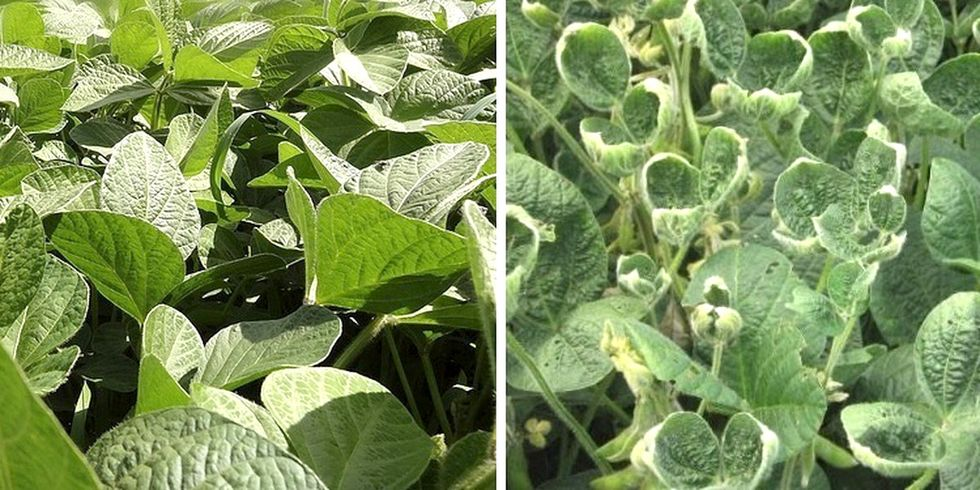 3 Major Problems With Monsanto's New GMO Soybeans