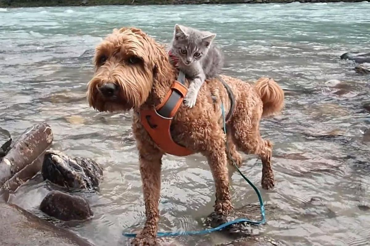 Rescue Kitten Bonds with Dog and Holds onto Her Everywhere They Go