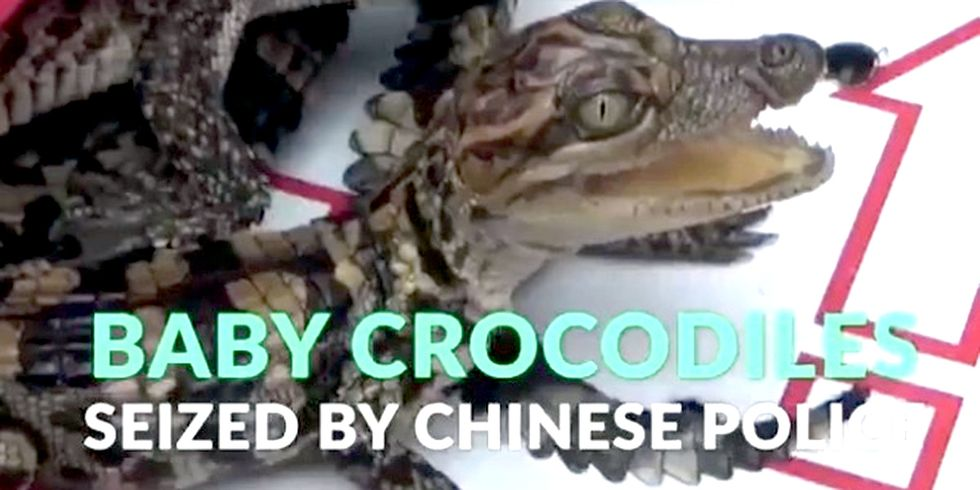 399 Endangered Baby Crocodiles Saved From Becoming Leather Goods
