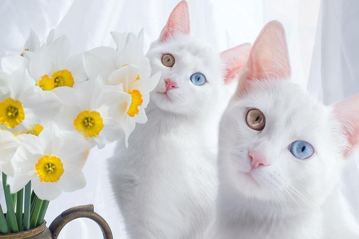 Twin Kitties with Same Colored Odd Eyes in These Stunning Photos