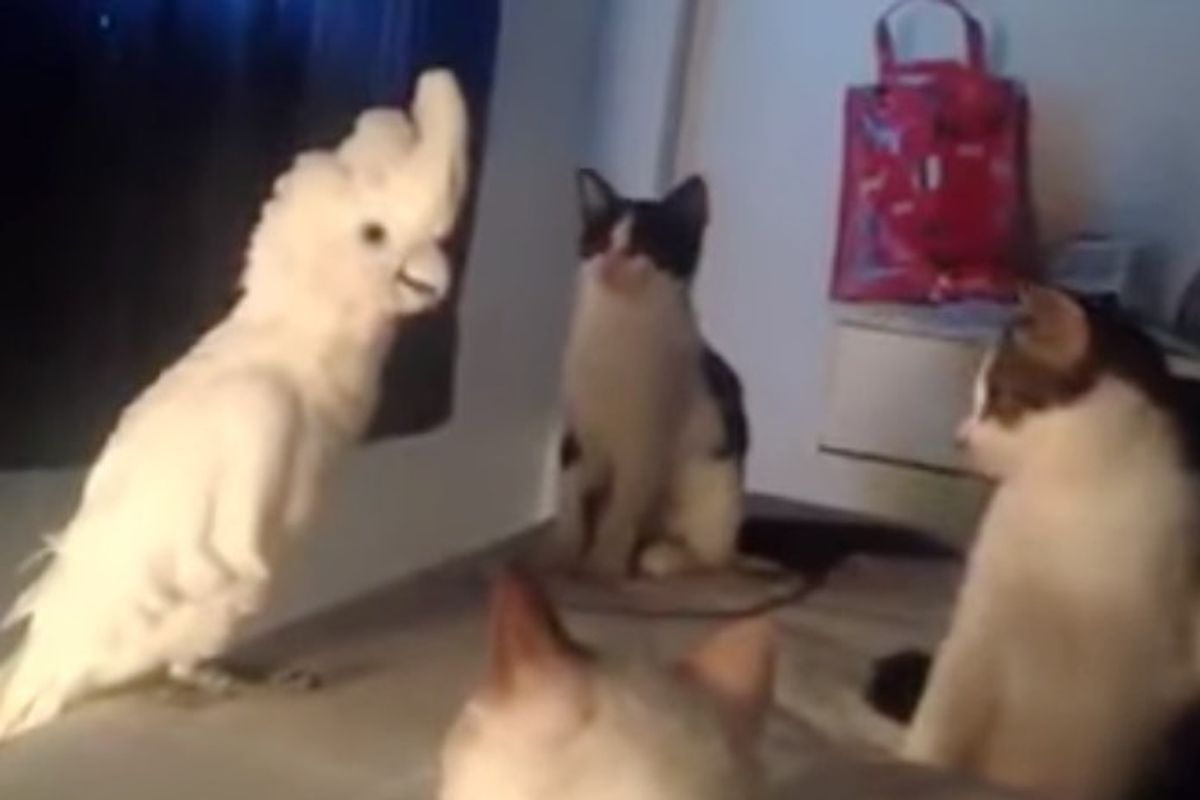 Parrot Speaks Meow to Her Kitty Followers, It's Amazing!