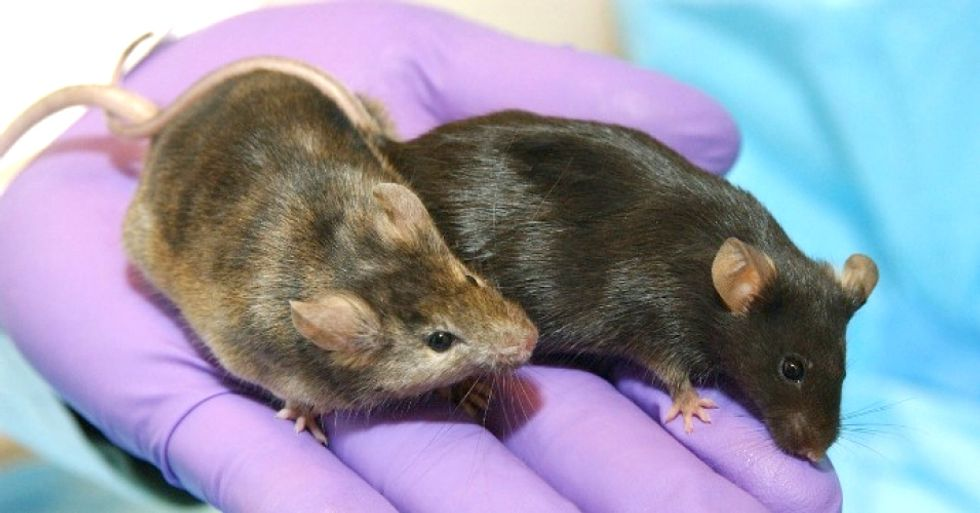 Experiments Involving Genetically Engineered Animals Are Skyrocketing