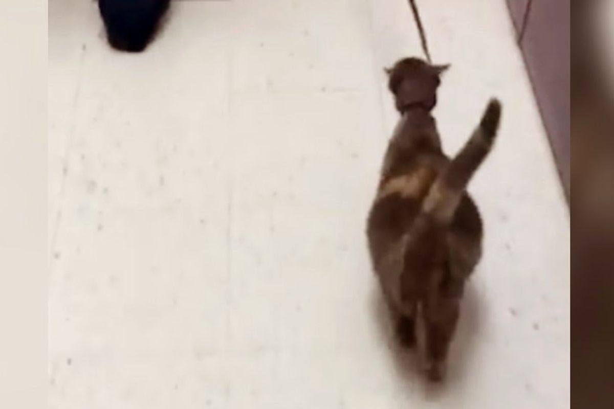 Stray Cat Came to Shelter with Big Belly, So Pregnant She Was Almost Bursting