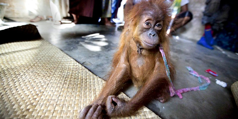 Orphaned Orangutan Gets Second Chance After His Home Was Destroyed by Palm Oil