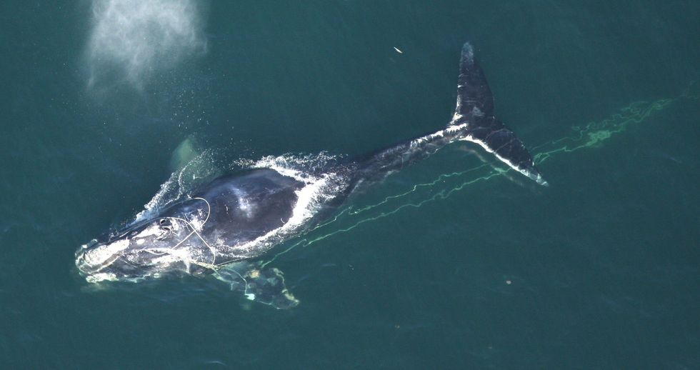 Fishing Gear Entanglement Number One Killer of Right Whales