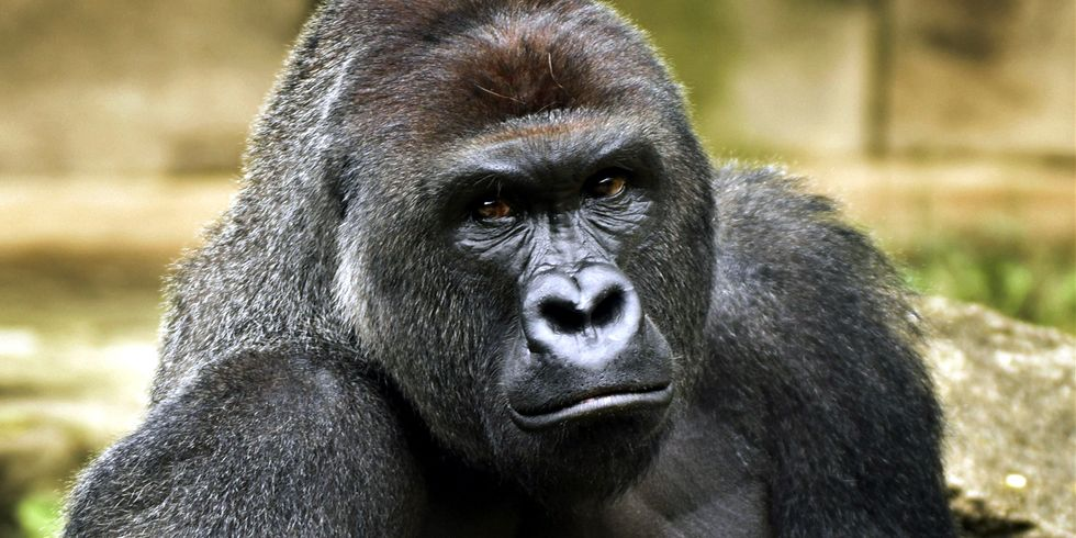 World's Largest Gorilla Declared Critically Endangered