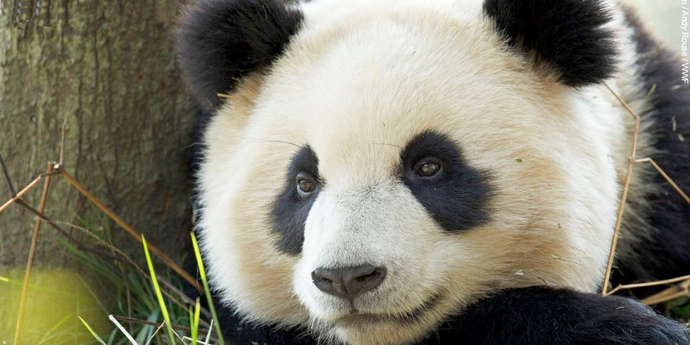 Giant Success for Giant Pandas