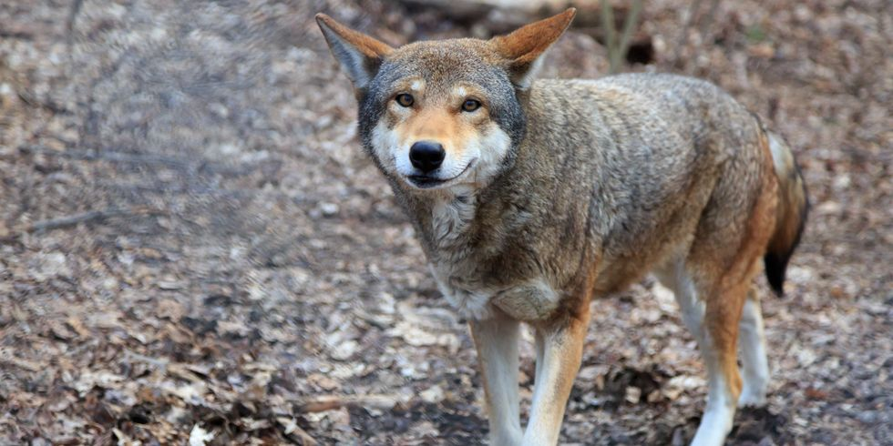 Fate of World's Last 45 Red Wolves in the Wild in Hands of U.S. Fish & Wildlife Service