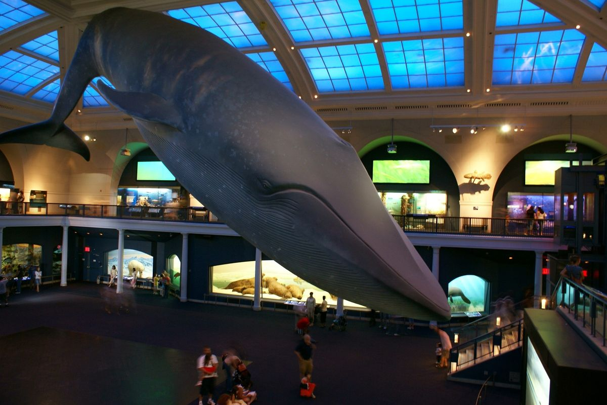 Let This Livestream of the Blue Whale at the American Museum of Natural History Soothe Your End-of-Summer Panic