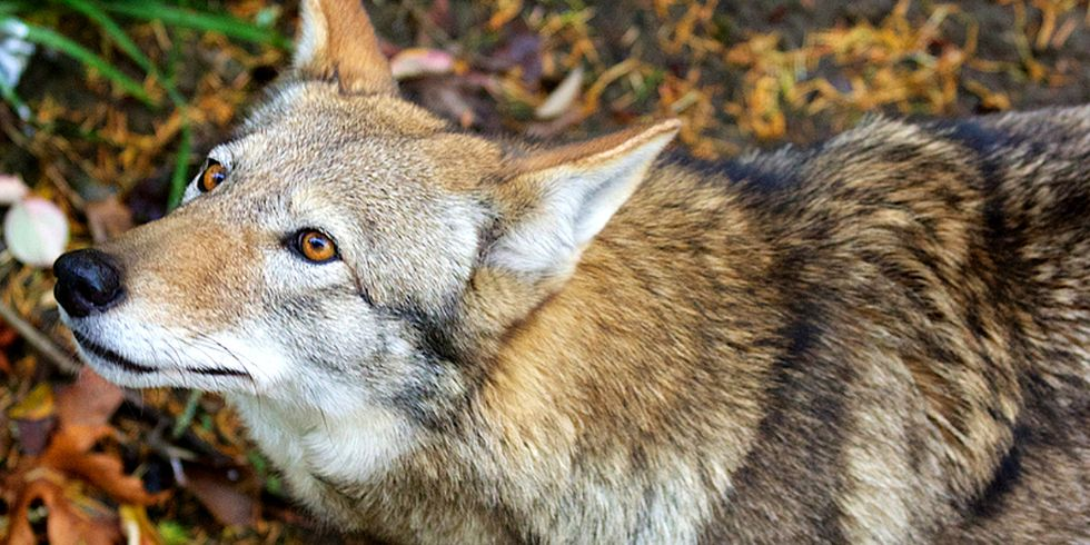 With Only 45 Red Wolves Left in the Wild, Confinement Plan Won't Save Species