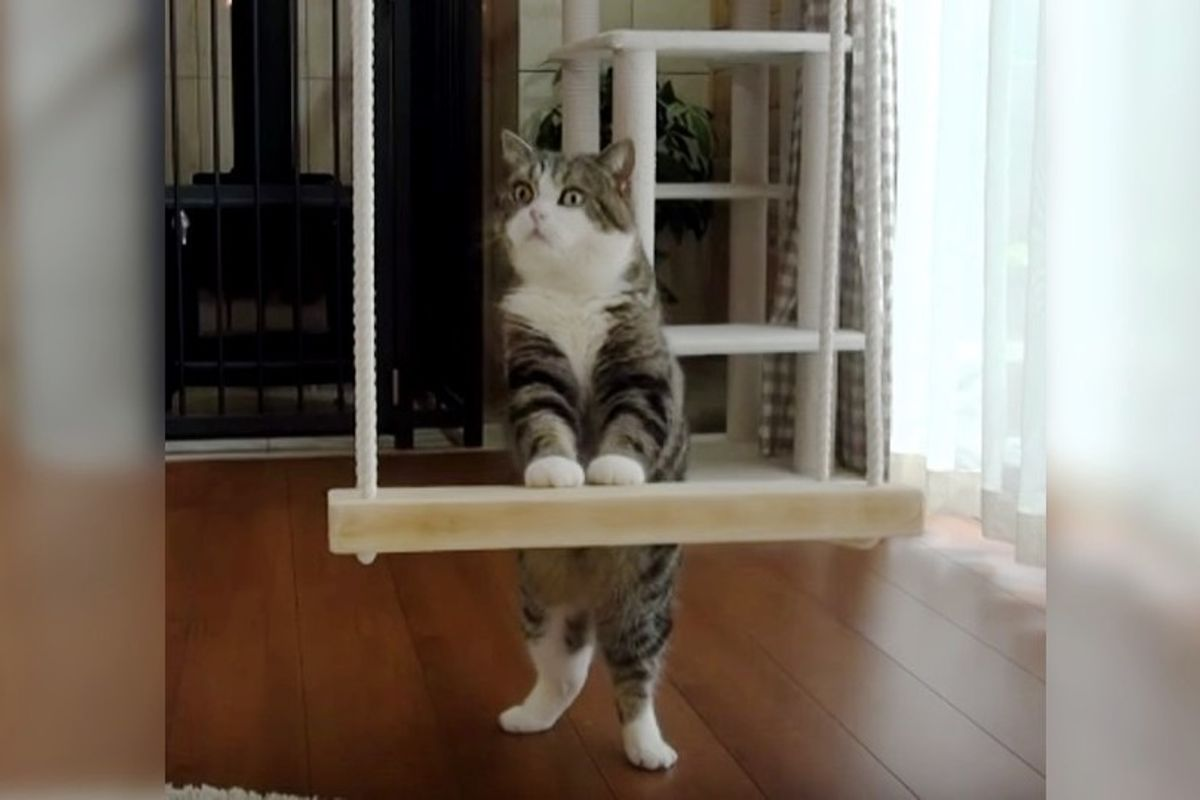 Smart Cat Won't Stop Trying Until He Turns Swing into Throne
