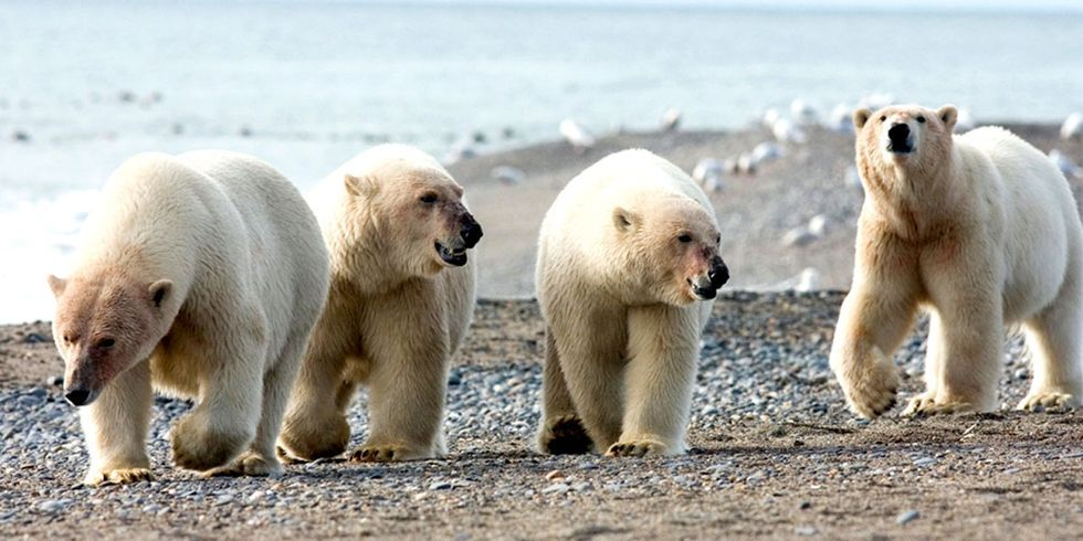 Hungry Polar Bears Trap Scientists Inside Arctic Weather Station