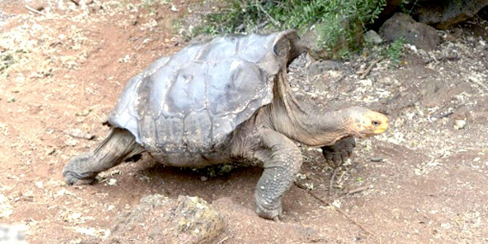 100-Year-Old Tortoise Fathers 800 Offspring in Fight to Save Species
