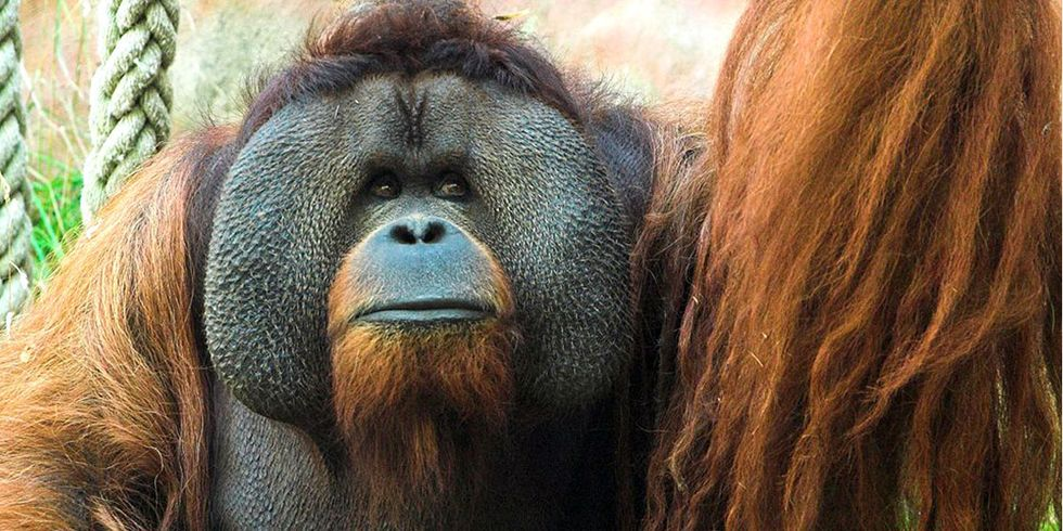 Orangutan Sheds a Tear During Heart-Warming Moment With Pregnant Woman