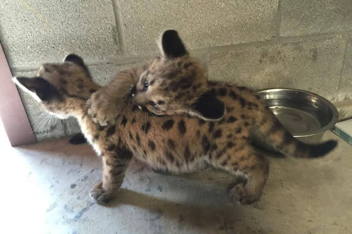 Rescue Wildcat Cub Bonds with Three Other Orphaned Cubs Like Family