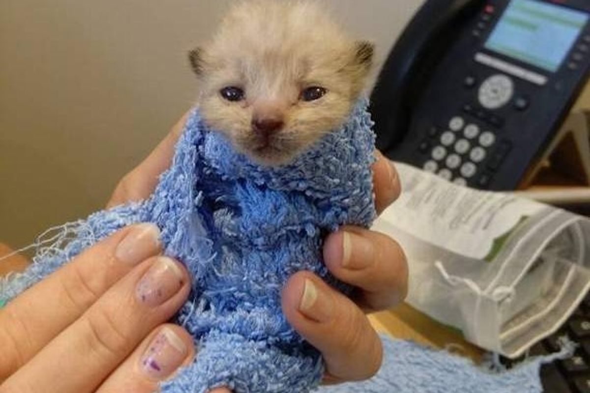 Kitten Saved from Gas Station Cheats Death, a Few Days After the Rescue..