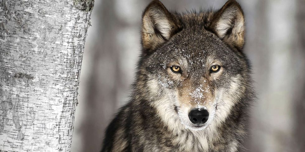 Norway to Kill 47 of Its Remaining 68 Wolves