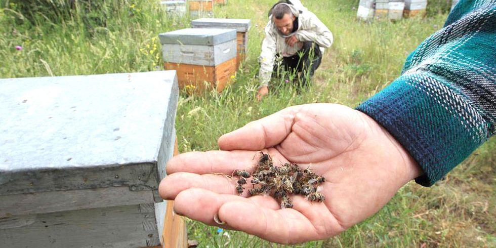 Greenpeace Investigation Uncovers Studies Showing Pesticides Pose Serious Harm to Honeybees