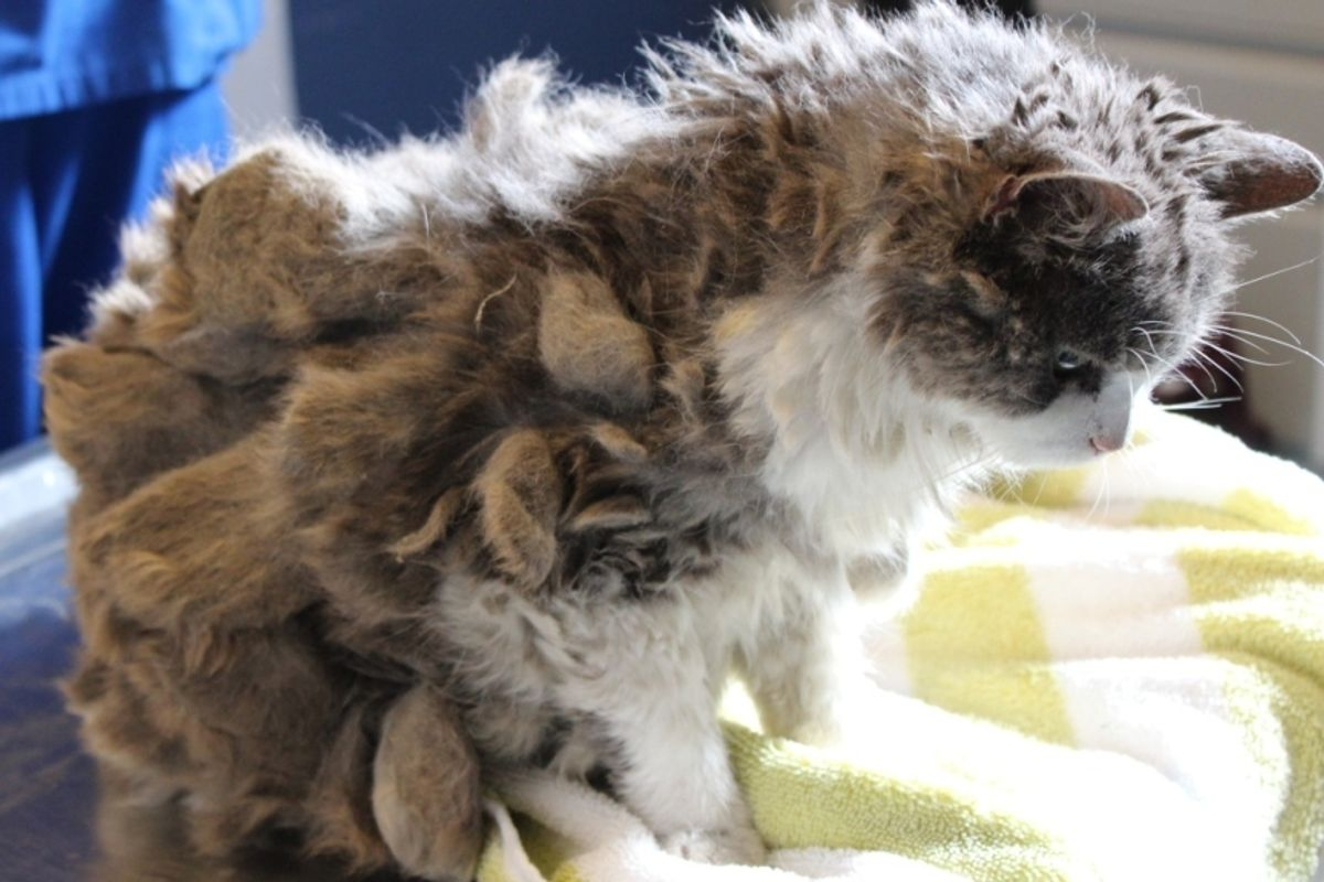 Woman Stops to Help Mysterious Animal,Discovers It's a Severely Matted Cat