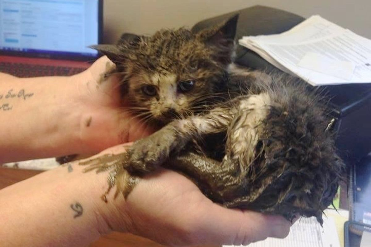 Kitten Found Stuck in Mud Under Steel is Saved by Teamwork, What a Difference One Day Makes