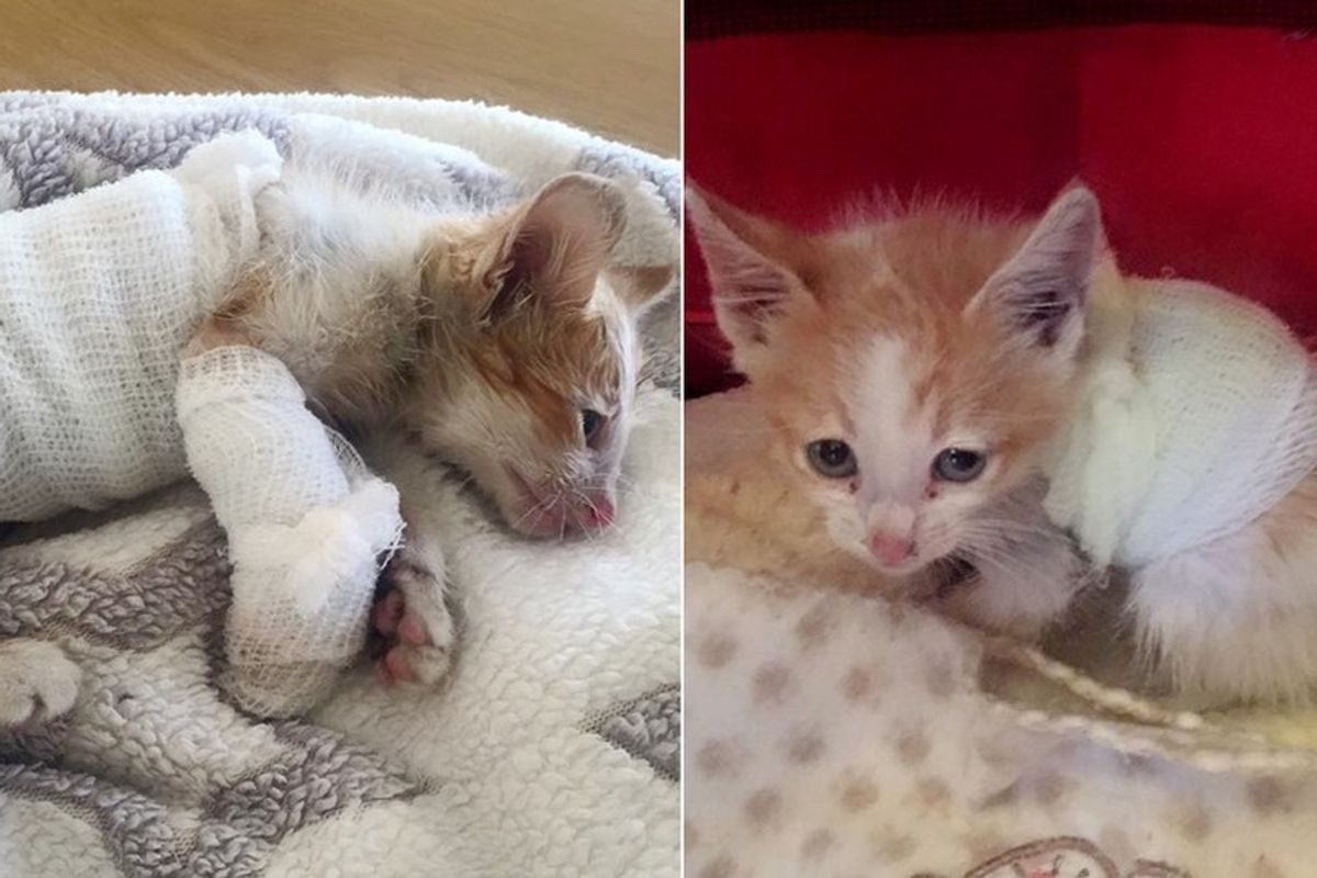 Kitten, Who Survived Forklift, Never Gives Up Fighting, What a Difference Love Can Make