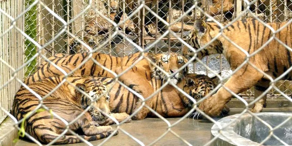 200 Farms in China Breed Tigers for Slaughter for Body Parts, Luxury Goods