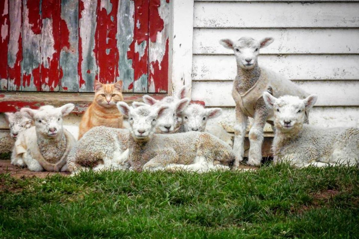 Cat, Who Thinks He's Part Lamb, Leads Flock of Loyal Followers