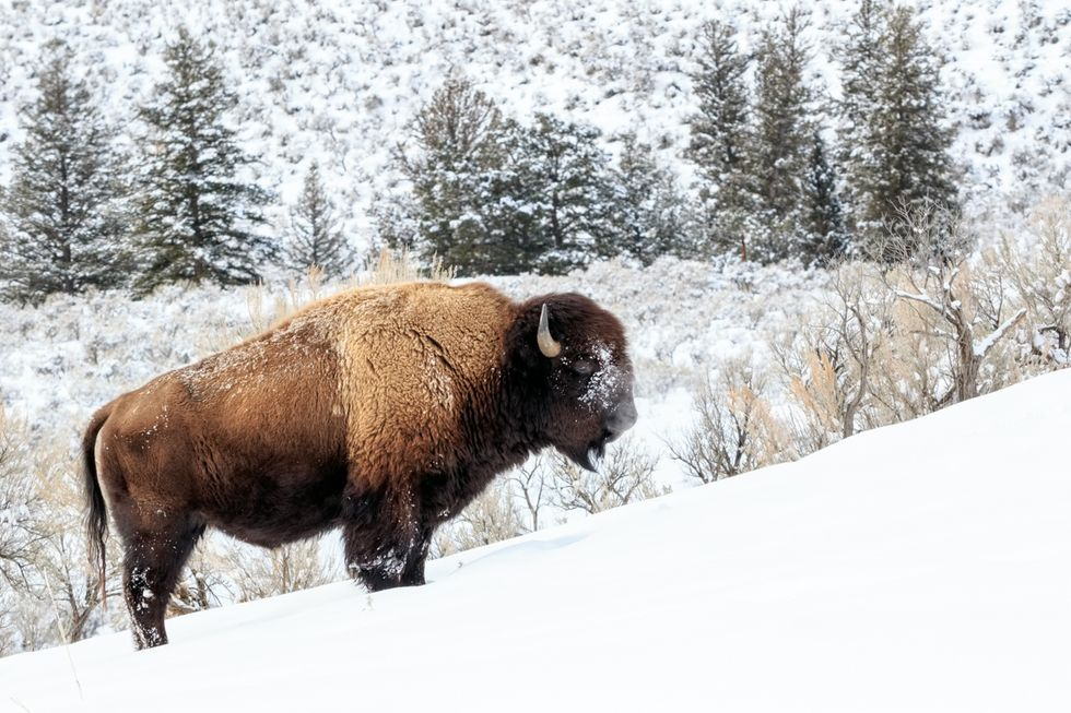 Groups Sue Government Over Slaughter of Yellowstone Bison