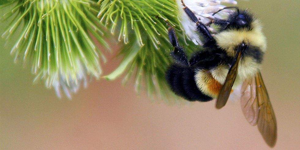 This Bumble Bee Is About to Go Extinct