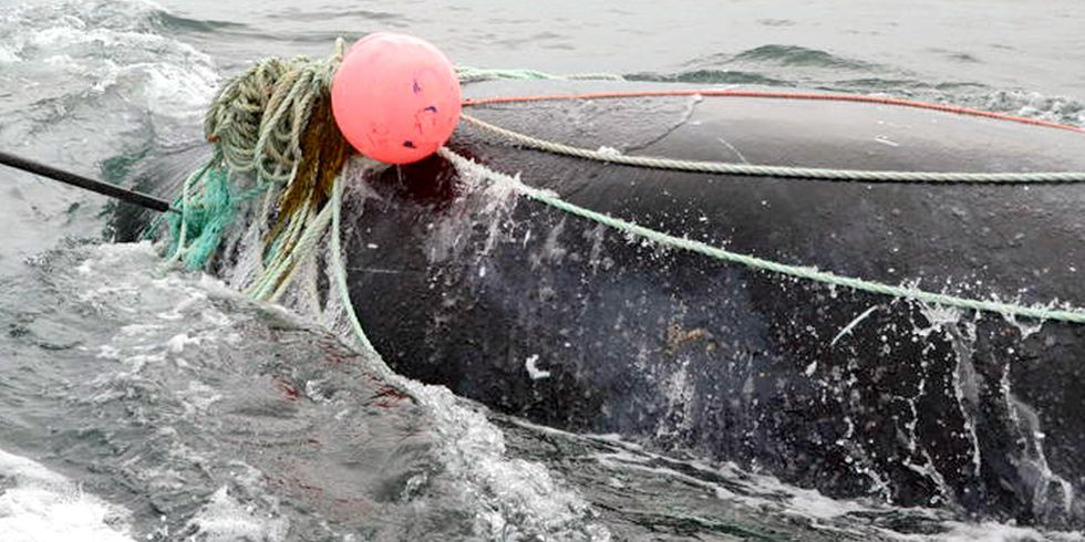 2 Critically Endangered Right Whales Found Dead, Entangled in Fishing Gear