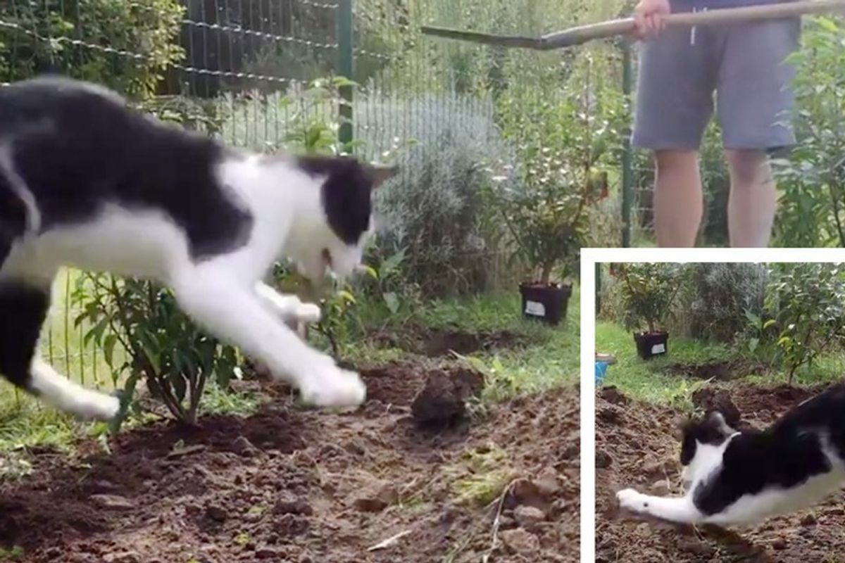 Cat Insists to 'Help' His Human with Gardening Every Time