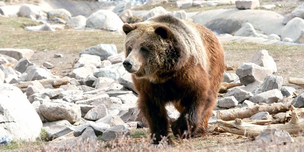 50 Native Tribes Join Fight to Prevent Delisting of Yellowstone Grizzly Bears