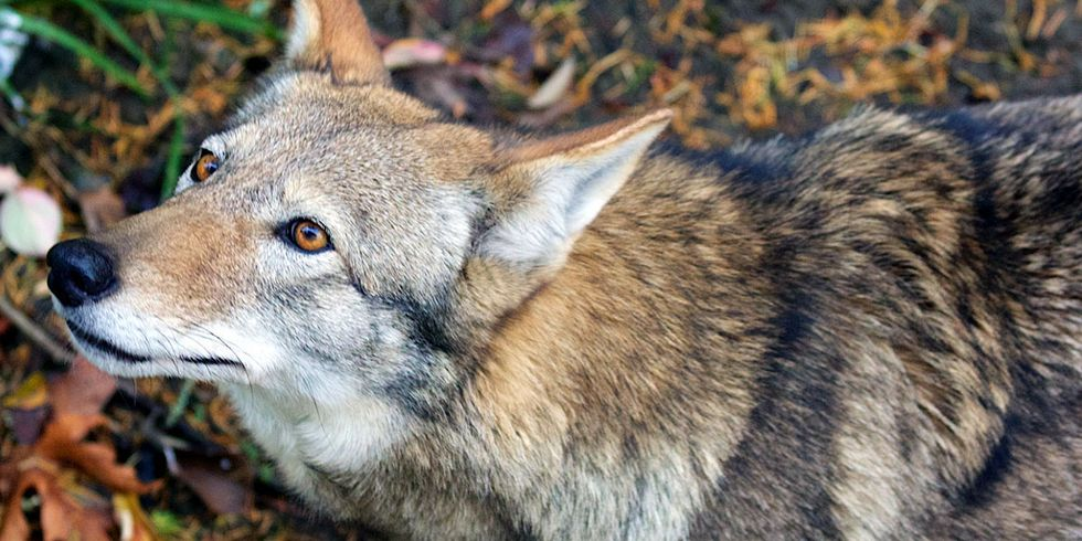 Court Stops U.S. Fish & Wildlife from Killing Wild Red Wolves