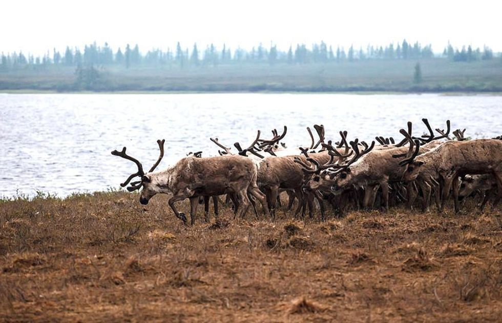 Russia Plans to Kill 250,000 Reindeer Amid Anthrax Fears