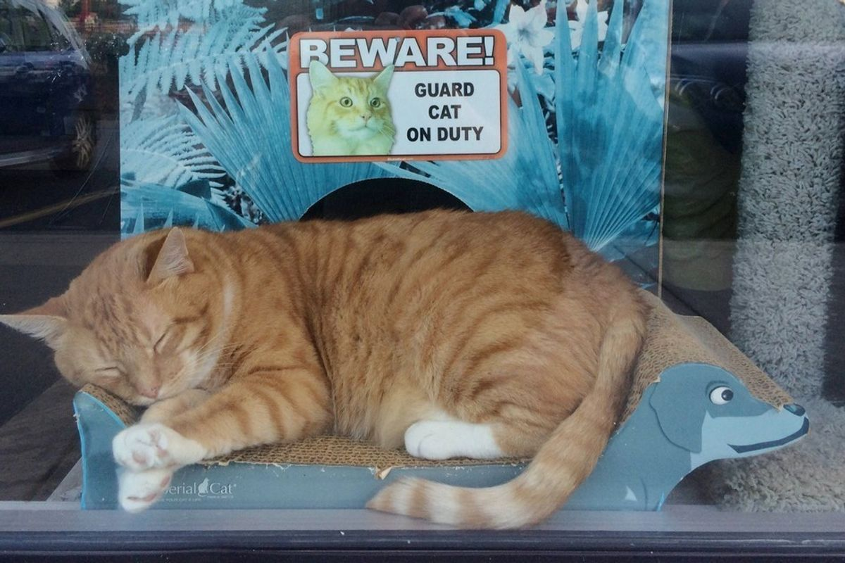 Store Owner Saves Orange Tabby from Certain Death, He Returns the Favor..