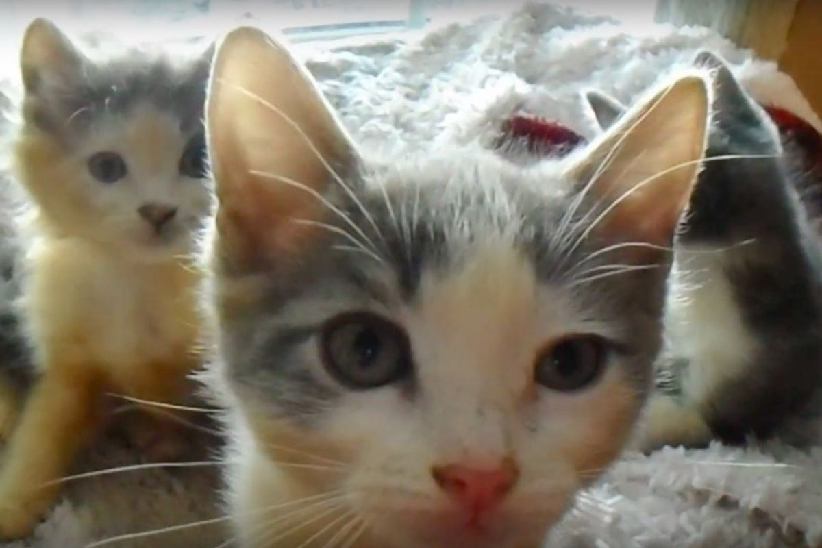 1 of 3000 Calicos is Male, They Found Two from This Litter of 5 Calicos