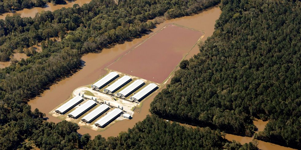 Billions of Gallons of Animal Waste From Factory Farms Poses Health Risks in Wake of Hurricane Matthew